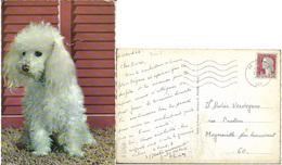 Divers - Caniche Blanc - Chiens
