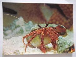 CPSM - BERNARD L'ERMITE ARGUS - AQUARIUM DE SAINT MALO - PHOTO VERITABLE - R2943 - Poissons Et Crustacés