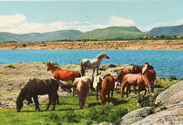 Irlande Galway Connemara Ponies Poney Chevaux Hippisme - Galway
