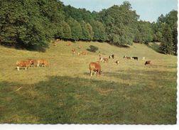 Vaches Animaux Troupeau De Vaches Paturages - Vaches
