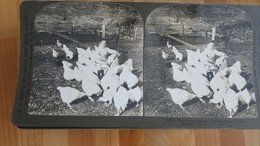 'perfect' STEROGRAPH -  6208 The Young Farmer… - Fotos Estereoscópicas