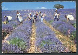 LA CUEILLETTE DE LA LAVANDE - Landwirtschaftl. Anbau