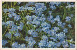 Bloem Flower Fleur  Flor Fiore Blume Myosotis Alpestris Alpine Forget Me Not Non Ti Scordar Di Me Switzerland Suisse - Blumen