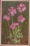 Bloem Flower Fleur  Flor Fiore Blume Primula Farinosa Mealy Primrose Primevere Farineuse Mehlprimel Switzerland Suisse - Blumen