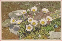 Bloem Flower Fleur  Flor Fiore Blume Chrysanthemum Alpinum Alpine Marigold Margherita Alpina Switzerland Suisse - Blumen