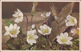 Bloem Flower Fleur  Flor Fiore Blume Dryas Octopetala Dryade White Dryas Silberwurz Switzerland Suisse - Blumen
