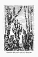 LES EUPHORBES  CACTIFORMES  ( L' EUPHORBE RESINIFERE )  1875 - A. Plantes Vertes