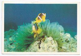 Anemone Di Mare (Girostoma Sp.) In Simbiosi Con Il Pesce Clown. - Pesci E Crostacei