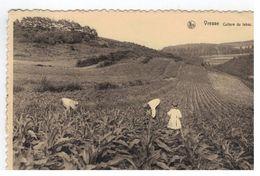 Vresse - Culture Du Tabac - Vresse-sur-Semois