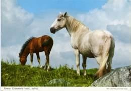 CONNEMARA PONY  Ireland  Horse - Cavalli