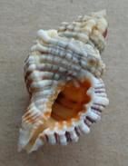 Cymatium Nicobaricum Martinique (Ste-Luce) 35,3mm GEM N3 - Seashells & Snail-shells
