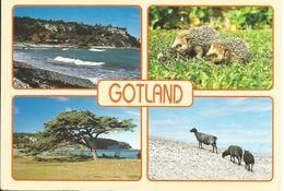 CPM île De Suède, Gotland, Ireviken (animaux, Hérisson, Mouton, Paysage Maritime, Pin) - Suède
