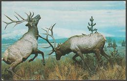 Rocky Mountain Elk, Carnegie Institute, Pittsburgh, Pennsylvania, C.1960s - Galen Barton Postcard - Museum