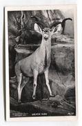 Birchington, Kent - Powell-Cotton Museum - Stuffed Greater Kudu - Taxidermy - Tierwelt & Fauna