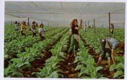 In This Early Season View Of Shade Grown Tobacco .... - Cultivation