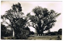 RB 1164 - Real Photo Postcard The Big Tree Victoria Falls Hotel Zambia Rhodesia Zimbabwe - Zambia
