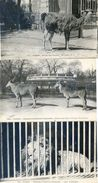Lot De 3 Cartes - Museum Histoire Naturelle - Lion, Elans Du Cap, Lama - Lions