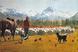 Glentanner Station - Mustering Sheep - Mount Cook - Canterbury - New Zealand - Nouvelle-Zélande
