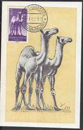 """SAHARA ESPAGNOL - Carte Maximum """" Fauna Africana - Dromedarios """" Cachet Villa Cisneros - Colonia De Rio De Oro 3 Oct. 57 - Sahara Español"""