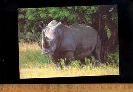 RHINOCEROS Blanc White Rhino Witrenoster Afrique Du Sud South Africa 1997 - Rhinocéros