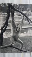 CPSM UN GIBBON A MAINS BALNCHES SINGE MUSEE MUSEUM  D HISTOIRE NATURELLE PARIS BOIS DE VINCENNES - Scimmie