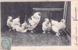 Poules  Poulette Chicken Brahma  Geflugel Race Chickens  Old Postcard. Cpa. 1904 - Vögel