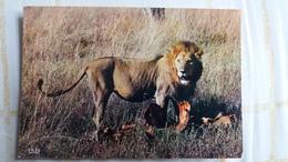 CPSM LE REPAS DU LION FAUNE AFRICAINE ED HOA QUI 5035 - Lions