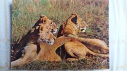 CPSM GROUPE DE LIONNES EN ALERTE AVANT LA CHASSE LES ANIMAUX D AFRIQUE ED YVON N° 14 - Lions