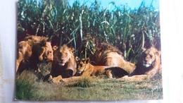 CPSM LIONS ET LIONNES FRANCIS ET LES ANIMAUX D AFRIQUE ED YVON N° 8 - Lions