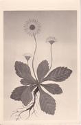 AK Zeichnung Einer Blume (29590) - Blumen