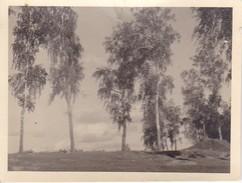Foto Bobruisk - Bäume - 1942 - 9*6cm (29606) - Orte