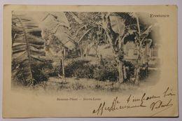 Cpa Freetown Banana Plant Sierra Leone 1902 - TON01 - Sierra Leone