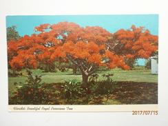Postcard Florida's Beautiful Royal Poinciana Tree My Ref  B11491 - Trees