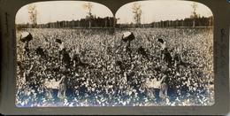 Missisipp, Cotton Pickingi, ASC, R.Y.Young - Stereoscopio
