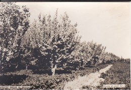SAUDI ARABIA--RARE--apricot Grove In Braida--munistry Of Information--carte Photo--voir 2 Scans - Saudi Arabia