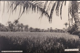 SAUDI ARABIA--RARE--rice Plantation In Al-hasa--munistry Of Information--carte Photo--voir 2 Scans - Saudi Arabia