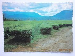 Postcard Nerada Tea Plantation Innisfail North Queensland Australia  My Ref B21539 - Cultivation