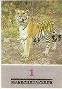 Postcard Of The USSR In 1989 - Amur Tiger-animals - Predators-cat. - Tigres