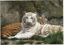 Tigre Du Bengale & Tigre Albino, Belle Carte Postale Adressée ANDORRA, Avec Timbre à Date Arrivée - Tigres