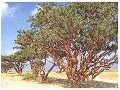 (35) Oman - UNESCO Trees - Oman