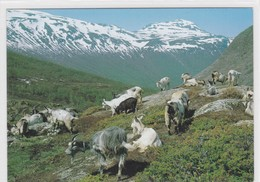 Chèvres / Ziegen / Goats. Troupeau De Chèvres à La Montagne. Norvège - Animaux & Faune