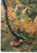 Champignons Les Cèpes Dans Un Sous-bois Fougères Champignon - Champignons