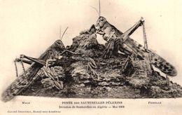 ALGERIE - PONTE DES SAUTERELLES PELERINS - INVASION DE SAUTERELLES EN ALGERIE MARIS 1908 - Other