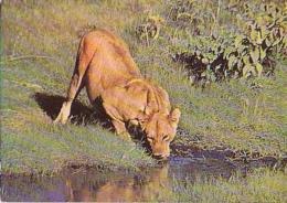 Lion   H9         Lionne - Lions