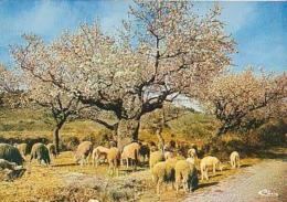 Mouton    H38        Pâturages Sous Les Amendiers U Printemps - Animales