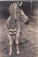 ANIMAUS  FAUNE---ZEBRE--voir 2 Scans - Zebras