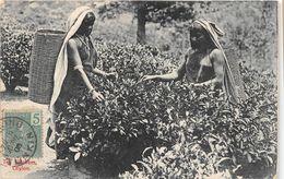 ¤¤  -  SRI LANDA  -  CEYLON  -  Tea Pluckers  -  Ramasseuses De Feuilles De Thé   -   ¤¤ - Sri Lanka (Ceilán)