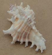 Murex  Mergus Martinique (Baie Du Gallion) 40,8mm F+++ Avec OPERCULE N4 - Seashells & Snail-shells