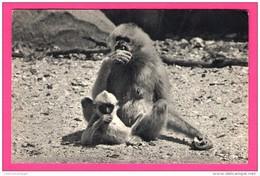 Comité National De L'Enfance - Gibbon Et Son Petit - Bois De Vincennes - DRAEGER - Monos