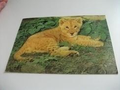 LEONE LION  CUB DIERELEWE  LEEUWELP - Leoni